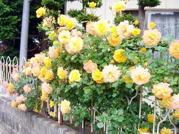 Roses_4